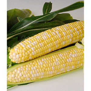 Bi-color sweet corn