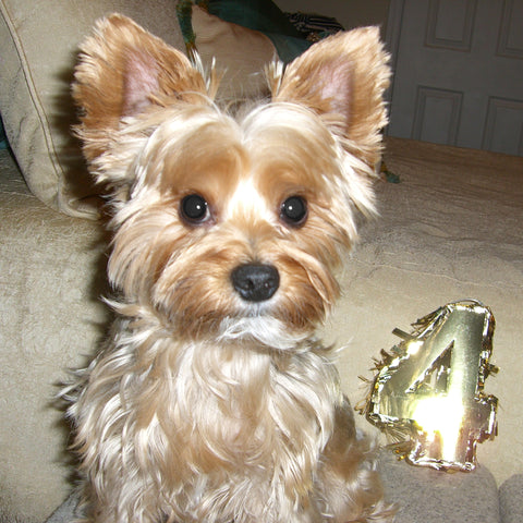 Coco the Yorkie