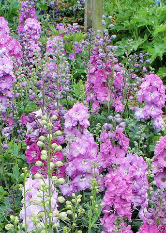 buy delphinium plants