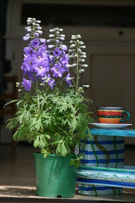 Delphinium growing in a pot