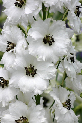 Black-Eyed Angels - white delphinium