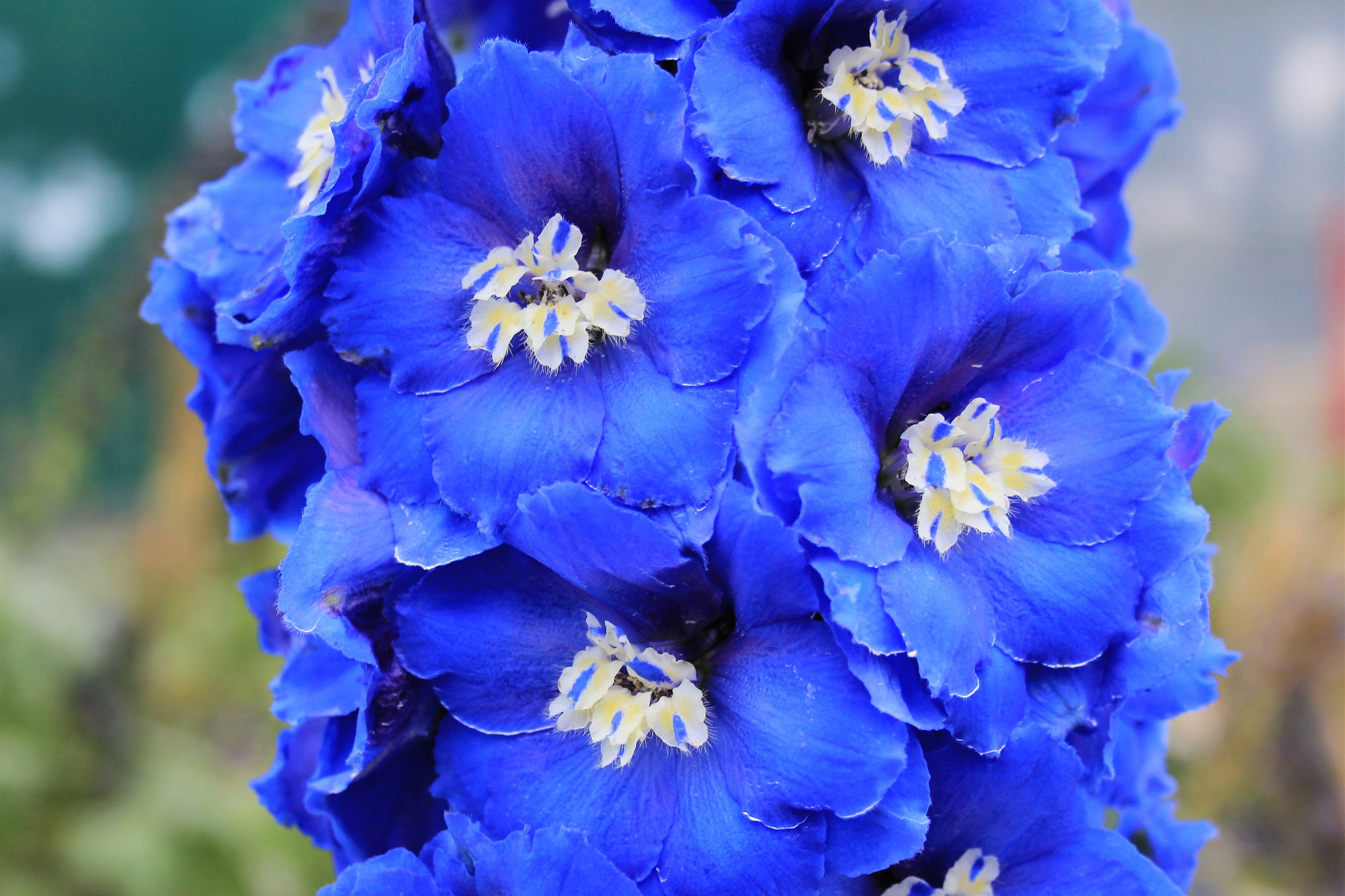 cobalt dreams blue new zealand hybrid delphinium seed for sale