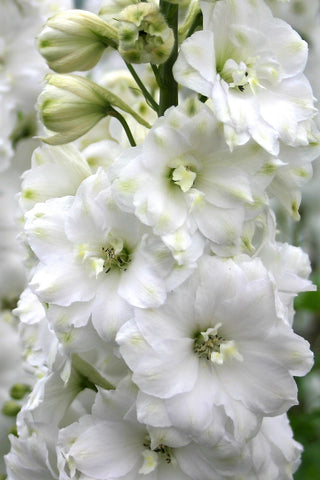 Double Innocence - white delphinium