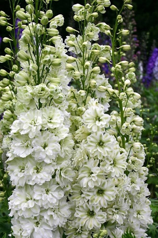 Green Twist - white delphinium