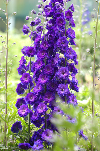 Gypsy Queen - purple delphinium