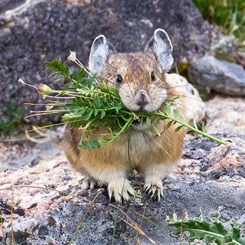The humble pika. Image credit: nps.gov