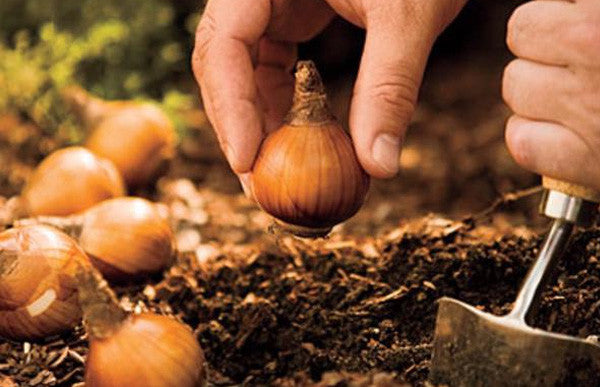 Bulbs for Spring Planting