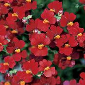 "Nemesia 4"" pot and 6 pack"