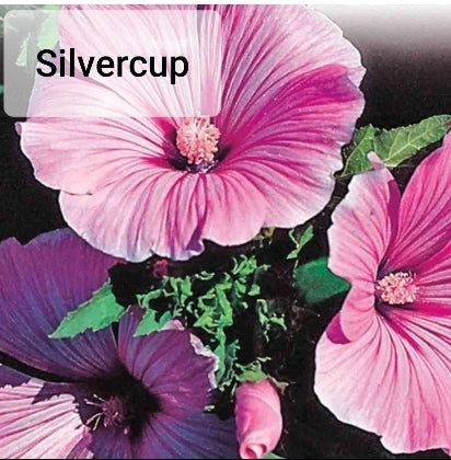 Lavatera - Seed Packet