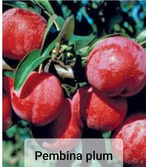 Plum Fruit Trees - Prunus
