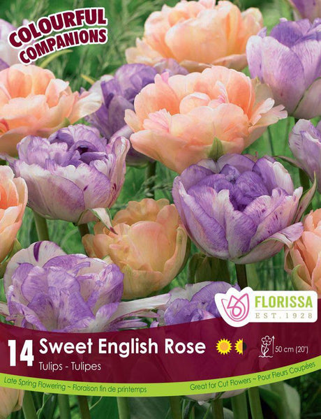 Companion Sweet English Rose