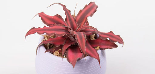Earth Star Ruby 3""