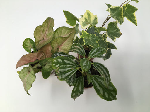 Miniature Foliage Plants