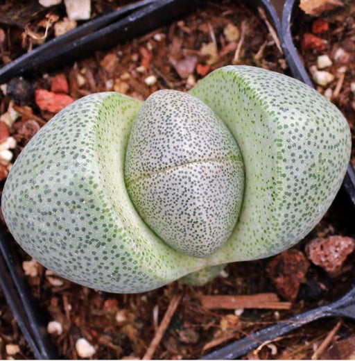 Split Rock - Pleiospilos 2""