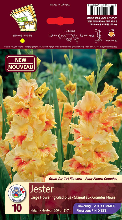 Gladiolus Dutch Jester