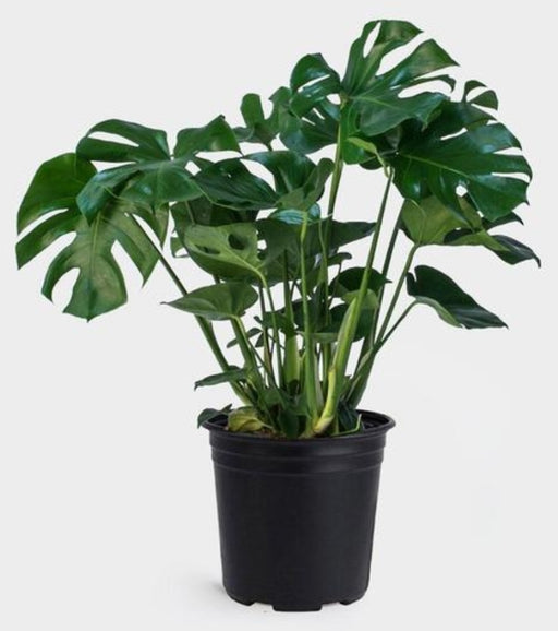 Philodendron monstera - Swiss Cheese Plant 10""