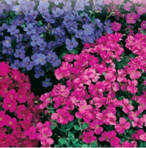 Aubretia Audrey Red and Purple Mix