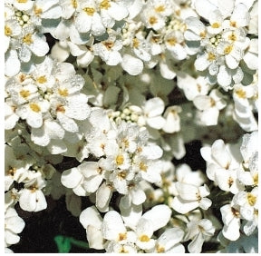Candytuft White Snow - Seed Packet