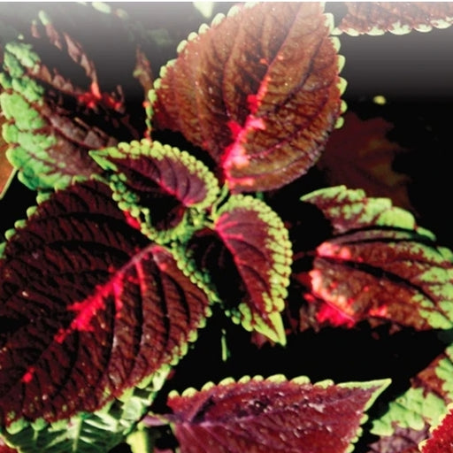Coleus Rainbow Mix - Seed Packet