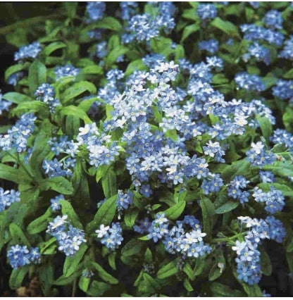 Forget-Me-Not Cynoglossum - Seed Packet