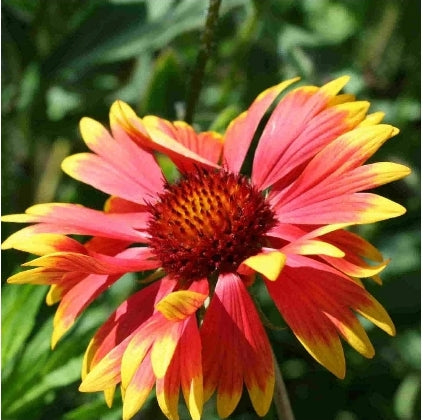 Gaillardia Grandiflora Mix - Seed Packet