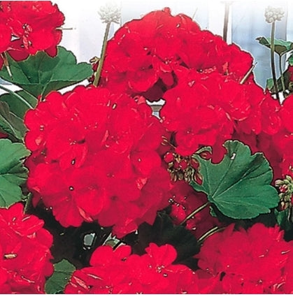 Geranium Red Zonale F1 - Seed Packet