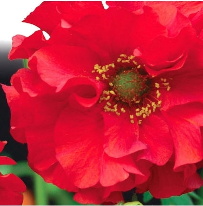 Geum Red Dragon - Seed Packet