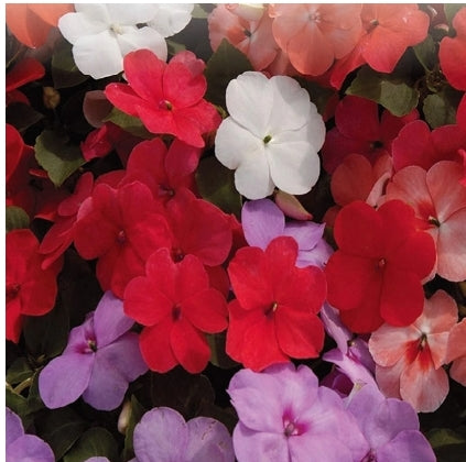 Impatiens Tropical Fizz Hybrid - Seed Packet