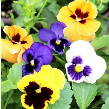 Pansy Show Swiss Giant - Seed Packet