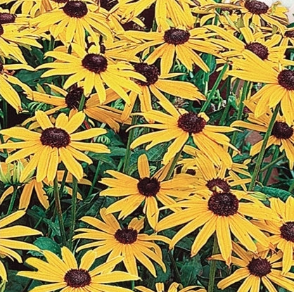 Rudbeckia Goldsturm - Seed Packet