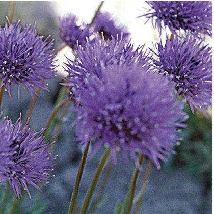 Scabiosa Shepherd's - Seed Packet
