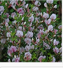 Purple Broom - Cytisus purpureus