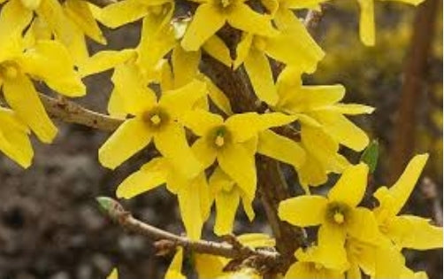 Forsythia Northern Gold Shrub