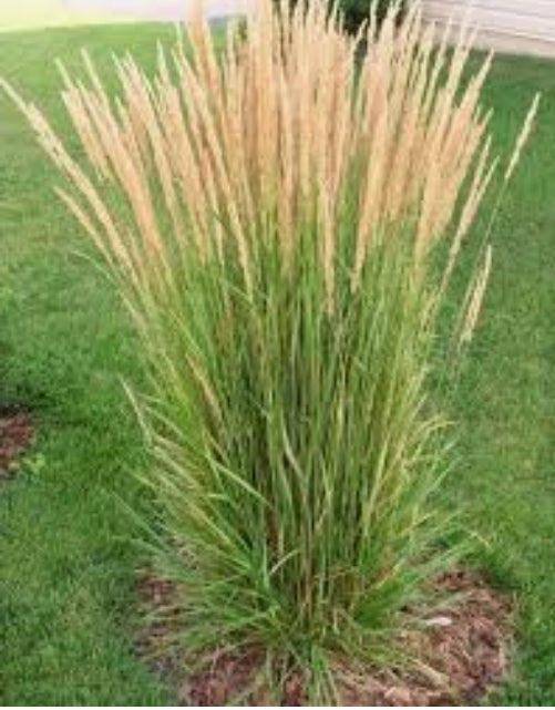 Karl Foerster Feather Reed Grass Calamagrostis Acutiflora Dutch Growers Regina