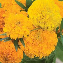 Marigold - Seed Packet
