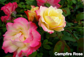 Campfire Hardy Rose