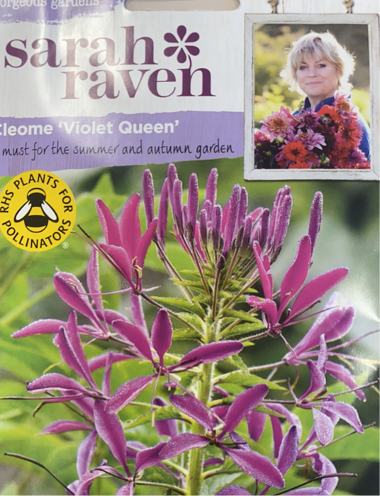 Cleome 'Violet Queen' - Seed Packet- Sarah raven