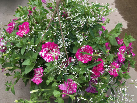 Annual Hanging Basket ' #20669 Sparkler