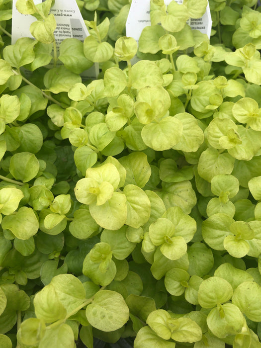 Lyschmachia creeping Jenny 'goldilocks'