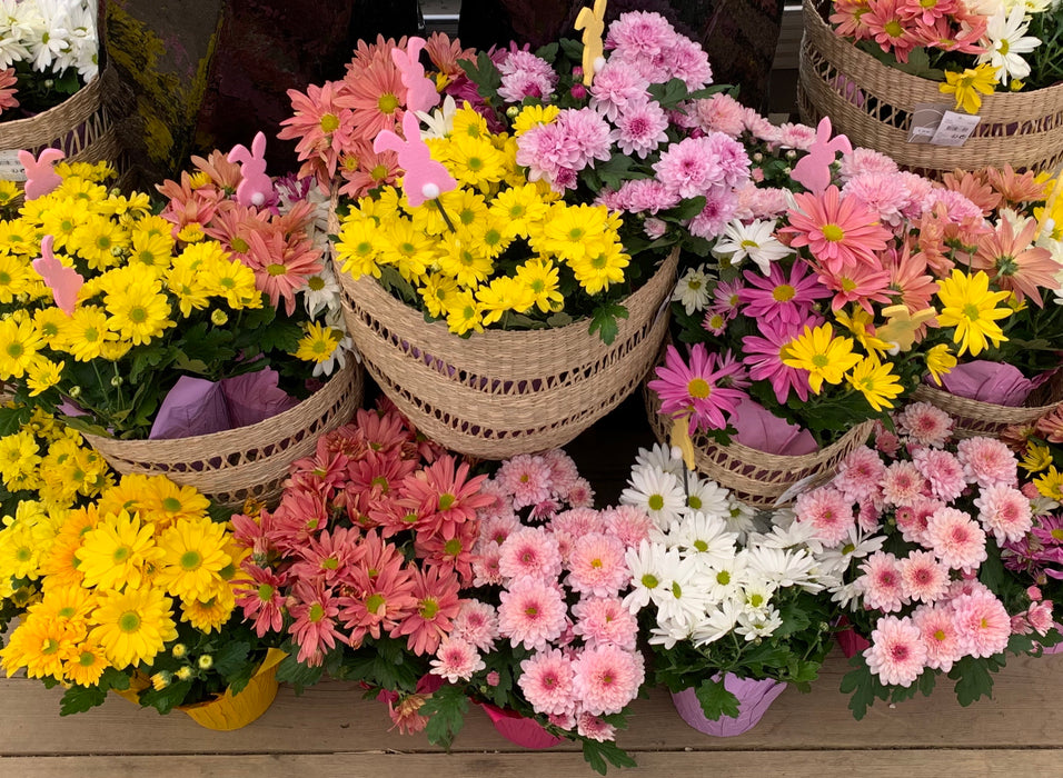 Pot Mum w/Easter Pick- PRE-ORDER now  for Easter 2021