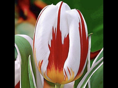 Tulip Canadian Celebration