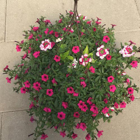 Annual Hanging Basket Purple Passion
