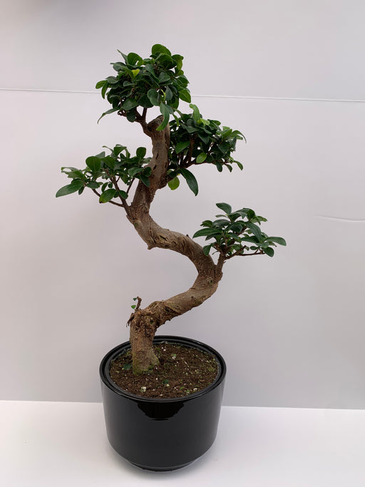 Bonsai - Ficus S Shape 8''