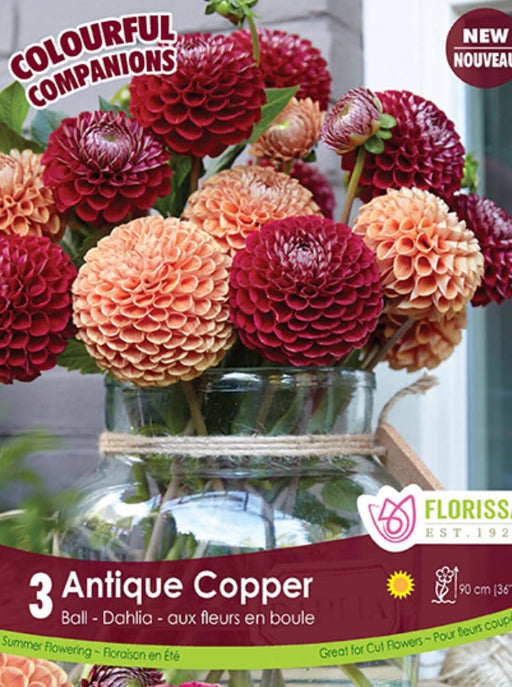 Dahlia Ball Type Antique Copper Mix