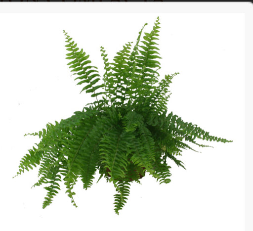 Fern-Boston type.