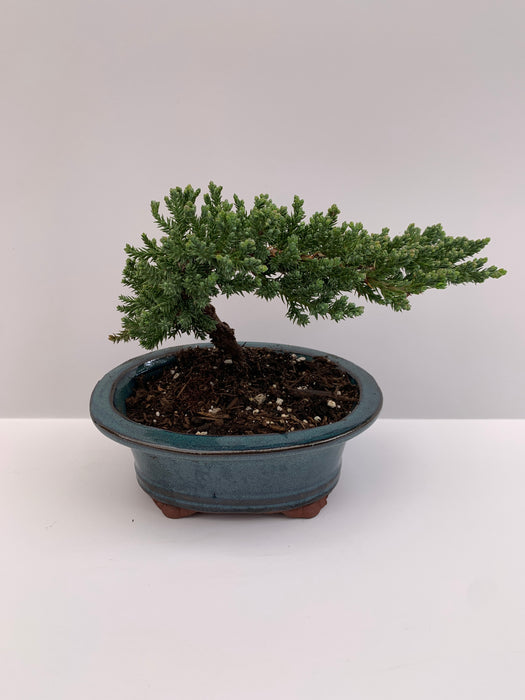Bonsai - Japanese Juniper 8
