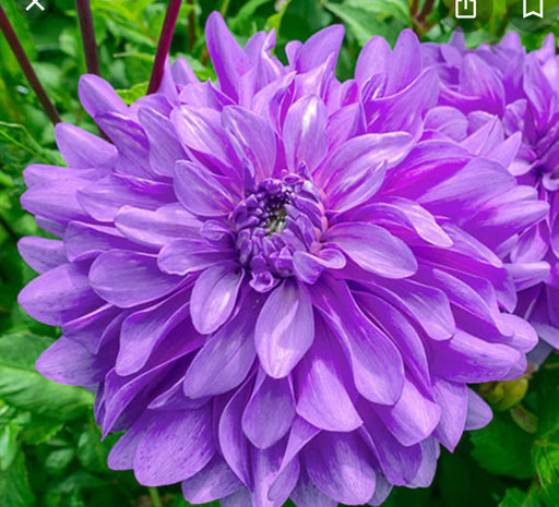 Dahlia Decorative Bluetiful
