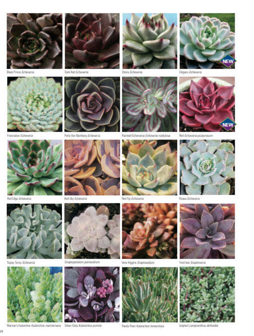 Succulents - Echiveria