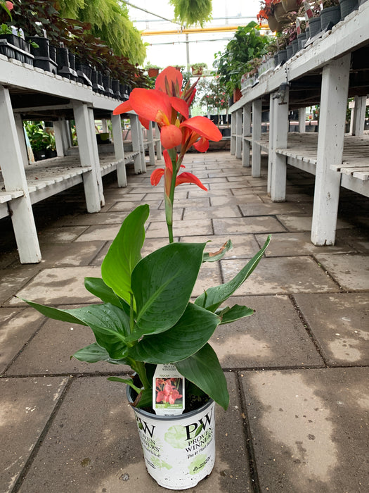 Canna Lilly 2 gallon pot