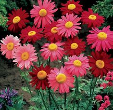 Daisy seeds - Seed Packet